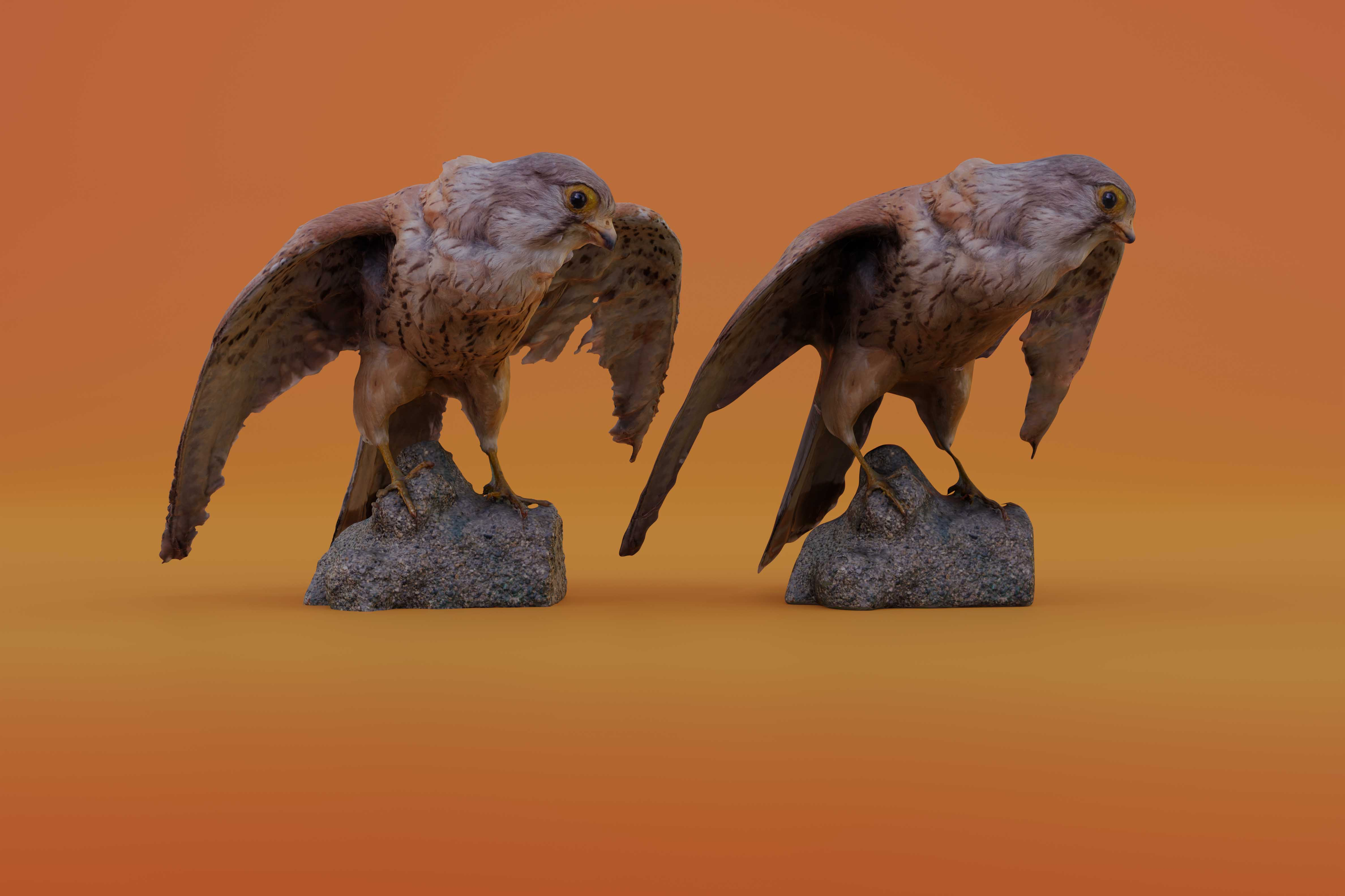 Realistic Kestrel Bird - 4