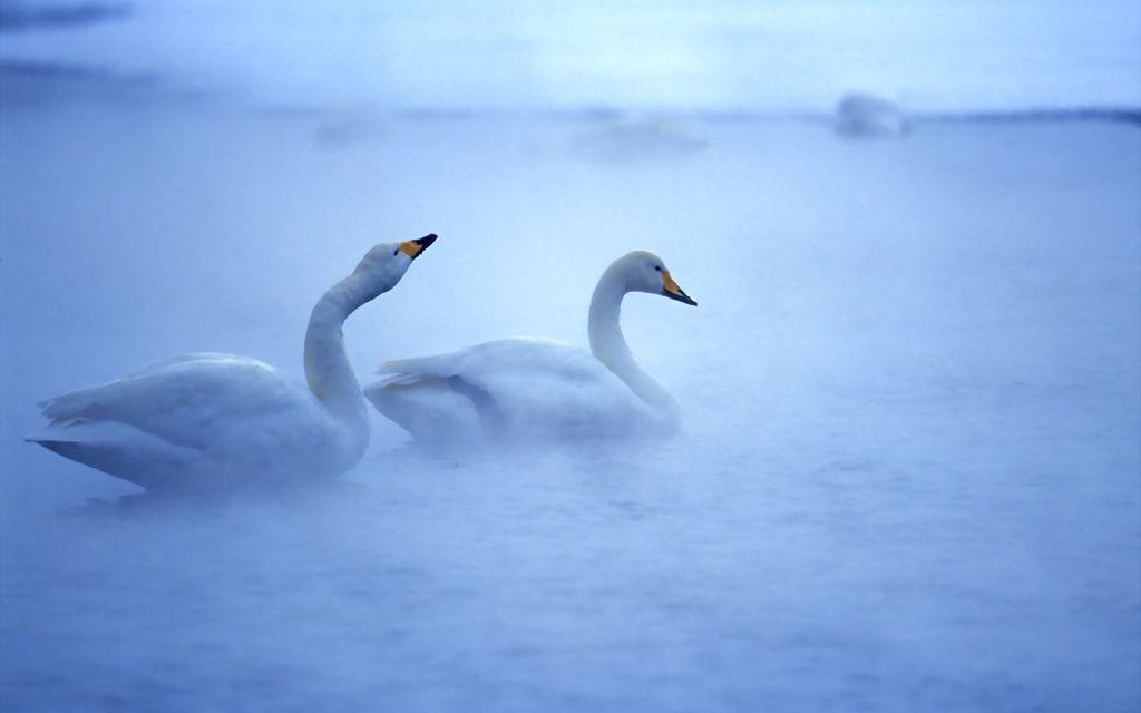 photo 6906333-swans-morning-fog_zpstfffvgeb.jpg