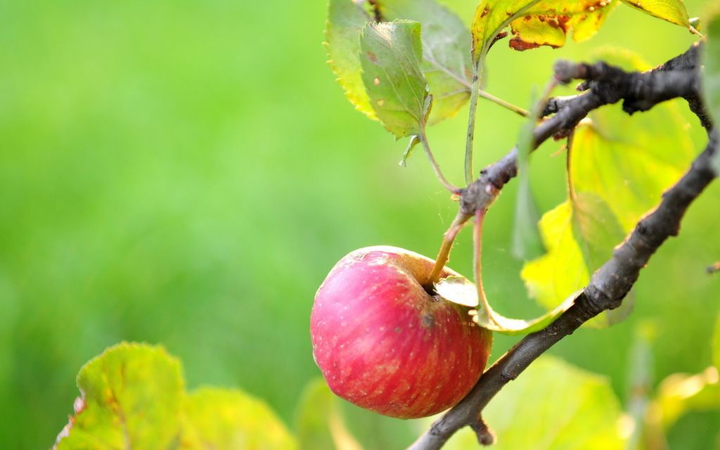 photo 737134-apple-tree-wallpaper_zpswfrvflli.jpg
