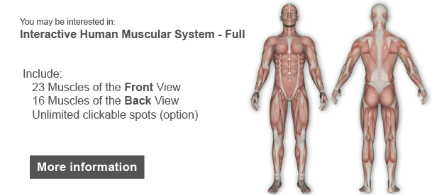 Interactive Human Muscular System Illustration