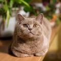 Vector view of british lilac cat closeup - 1