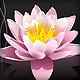 pink sacred lotus