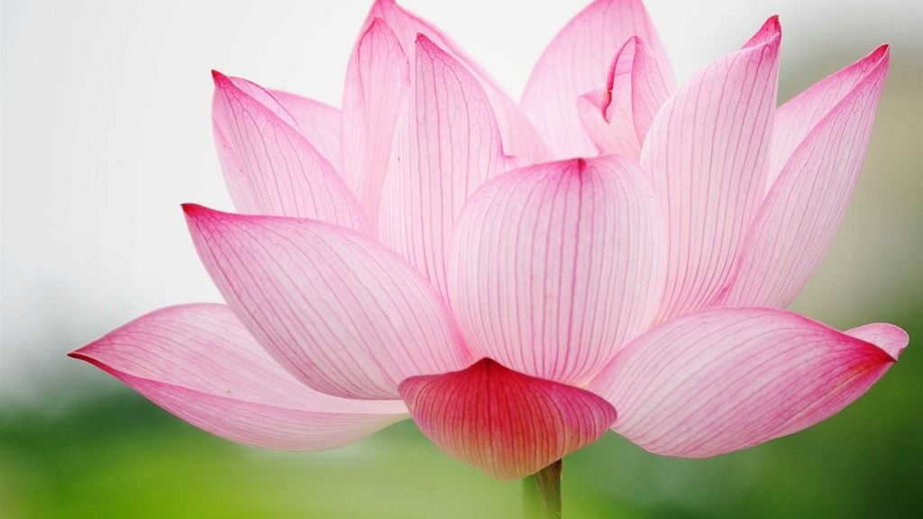 photo lotus-flower-images-and-wallpapers-26_zpscc2weals.jpg