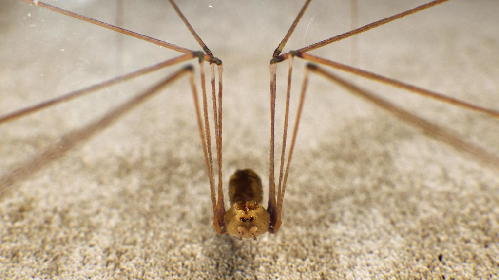Spider Pholcus Phalangioides (cam2)