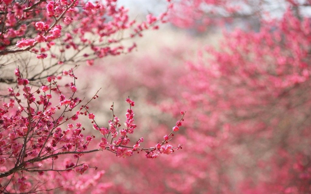 photo cherry-blossom-tree-wallpaper-4_zpsbogsndqw.jpg